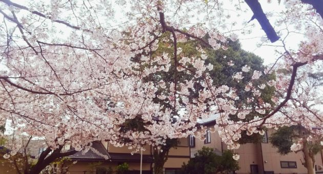 隠れた花見の名所?『笹原八幡宮』